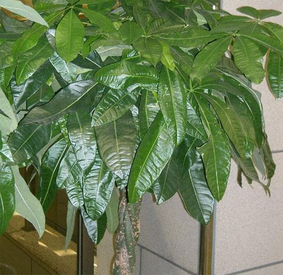 Растения для привлечения денег в дом