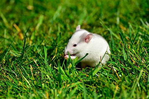 Отличительные особенности людей, рожденных под знаком Металлической Крысы